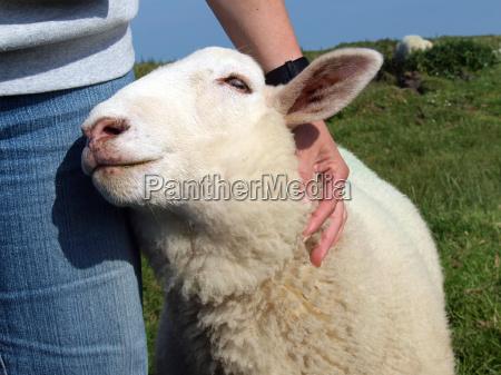 tame cuddly confiding droll sheep
