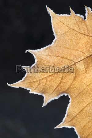 a large maple leaf with the