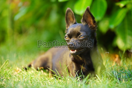 chihuahua dog looks cute at the