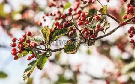 rowan berries in the fall in