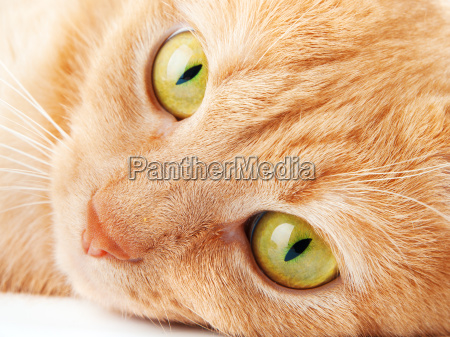 redhaired cat on white background redhaired