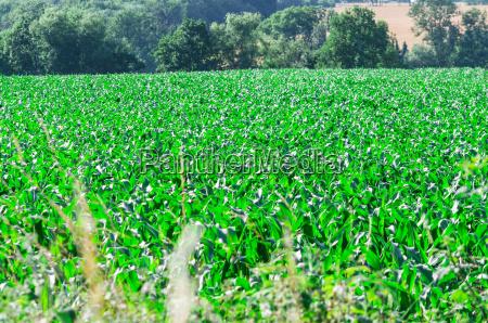 big cornfield