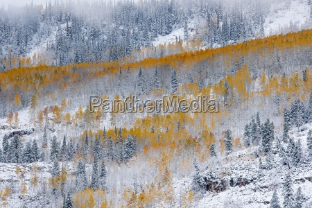view over aspen forests in autumn