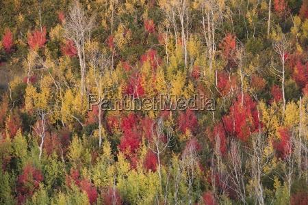 vivid autumn foliage colour on maple