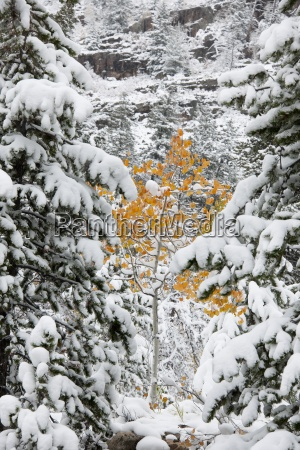pine trees with snow laden boughs