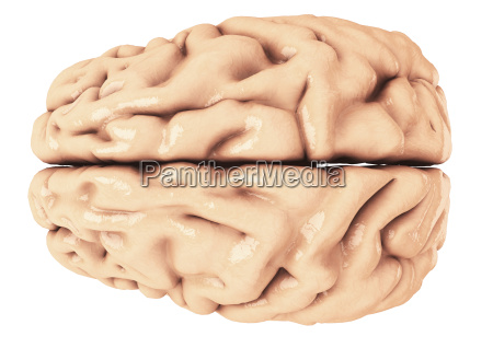brain as 3d rendering from above