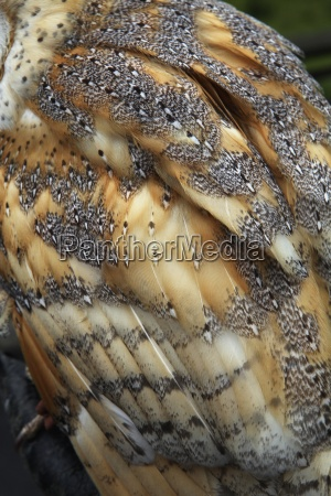 a barn owl close up of