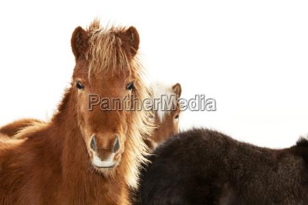 portrait of an icelandic pony with