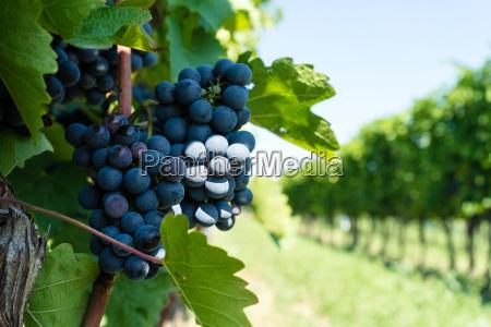 grapevine with blue grape