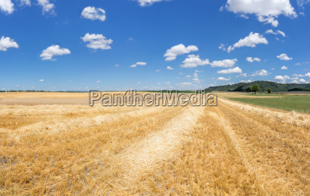gold yellow stubble rows with straw