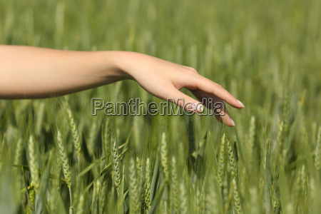 woman hand touching softly wheat in