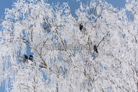 black raven in snow white birch