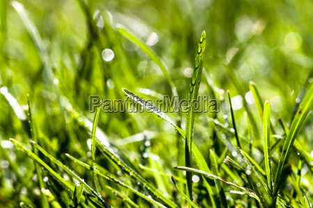 blade of grass in morgenau
