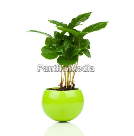 coffee plant tree on a white
