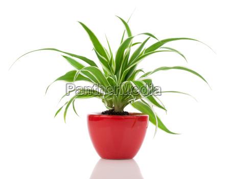 green chlorophytum plant in the pot