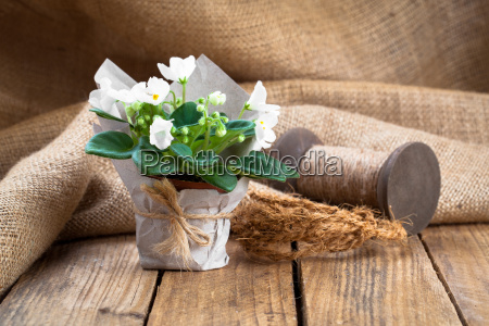 saintpaulia gesneriaceae flowers in paper packaging