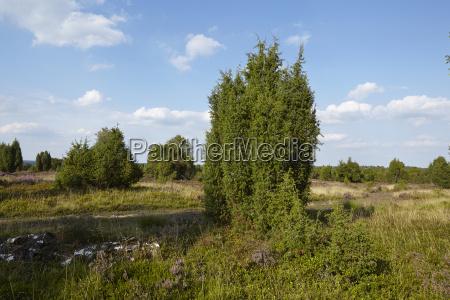 luneburg heath heathland with juniper