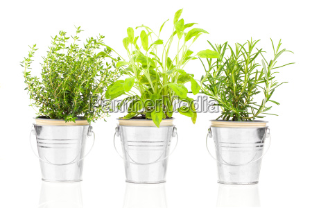 sage thyme and rosemary herb plant