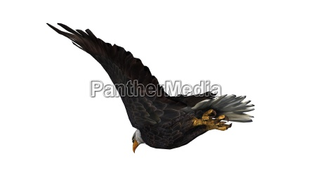 bald eagle in flight isolated on