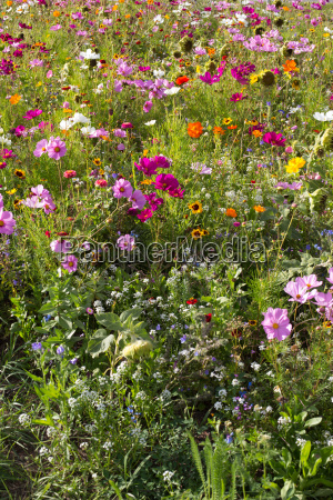 a summer meadow with many blossoming