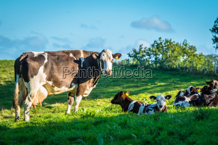 cows on a green grass meadow