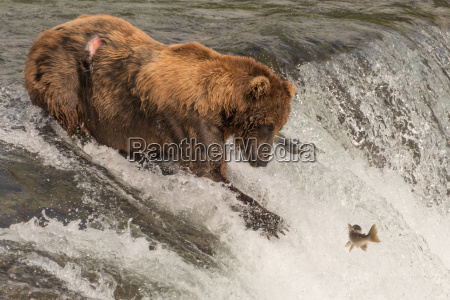 brown bear on waterfall stares at