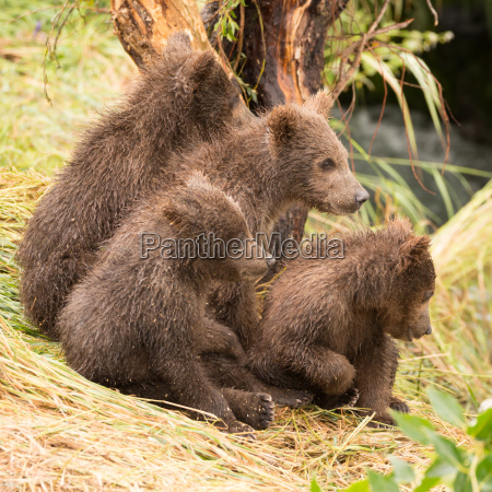 four bear cubs looking in same
