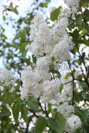 white syringa vulgaris flower blossoming in