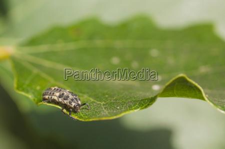ladybug larvae