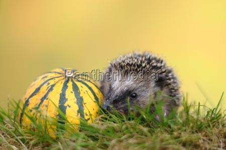 little hedgehog on a voyage of