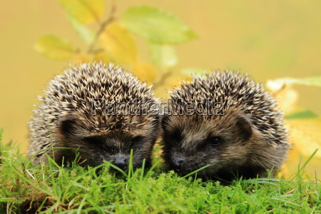young hedgehogs on the circle of
