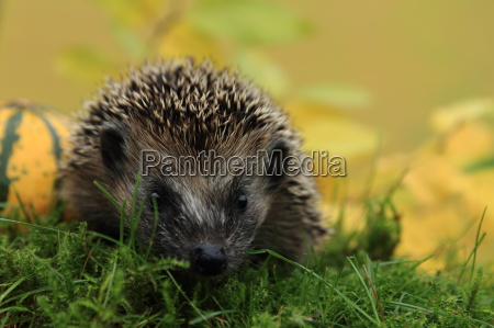 young hedgehog on discovery rice