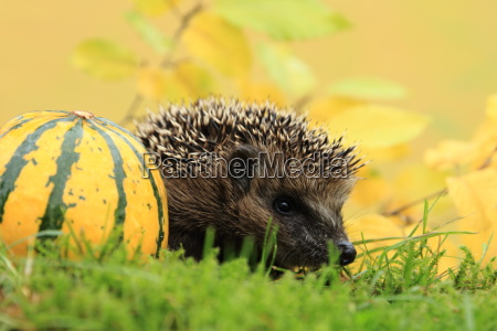 young hedgehog on expedition