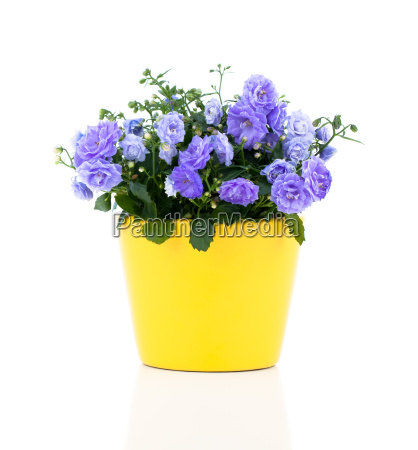 blue bluebells campanula flowers on a