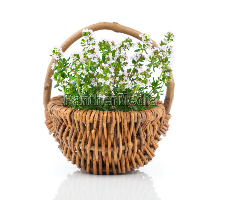 thyme herb plant in pasture basket