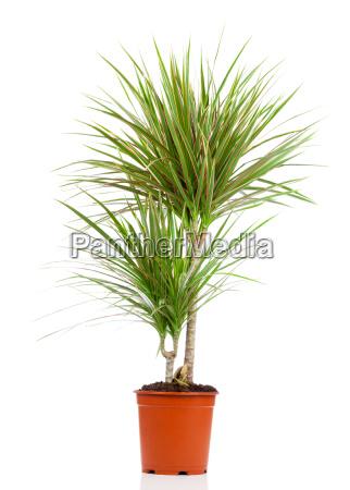 dracaena in a pot