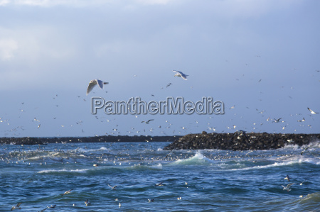 gulls hunting for fish