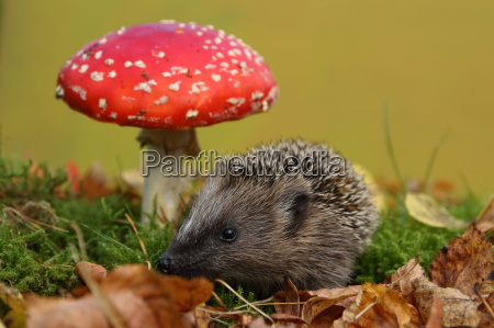 young hedgehog in the fairy forest