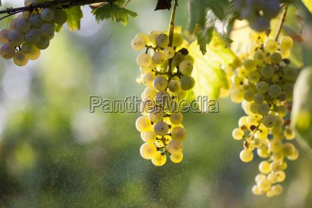 white grape bunch on the vine