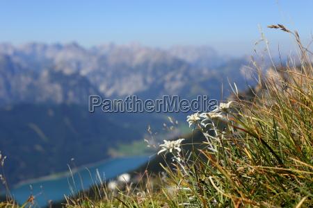 edelweiss am berg
