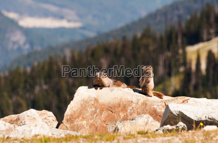 canada hoary marmot mountain