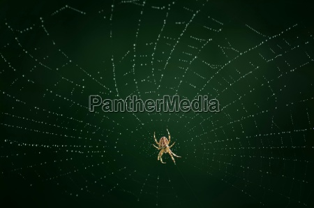 spider on the web with dew