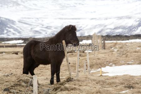 young icelandic foal