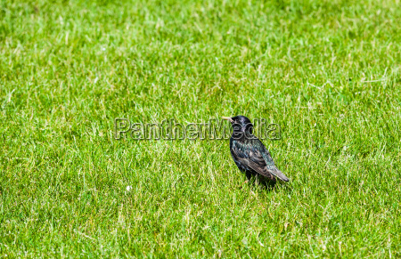 single starling in green grass looking