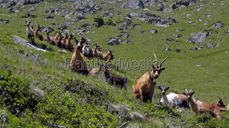 herd of goats on the mutspitze