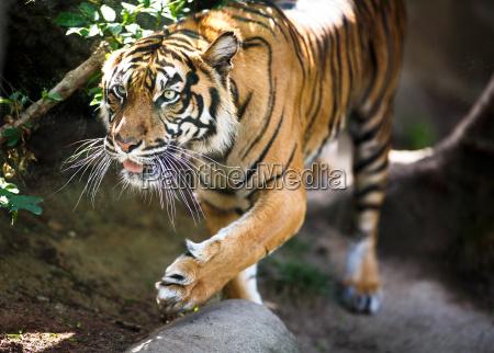 closeup of a siberian tiger also