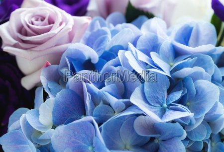 hydrangea, and, rose, close, up - 14934317
