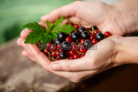 currant berries picking locavore clean eating