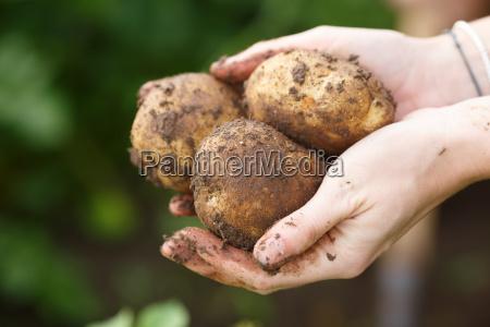 potato harvesting female hands holding potatoes