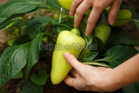 bell, pepper, harvest - 14936285